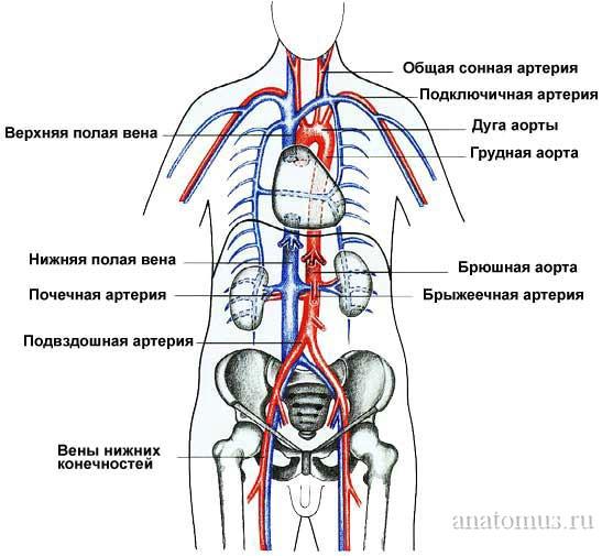 Схема главных кровеносных сосудов тела