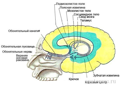строение органа обоняния человека