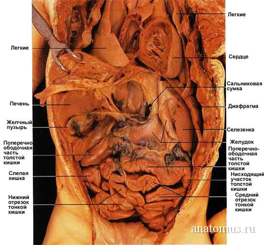 анатомия человека брюшной полости в картинках