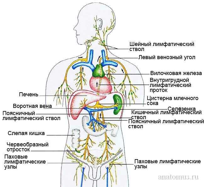 Реферат по анатомии с картинками