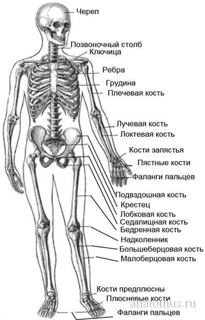 Опорно-двигательный аппарат - кости