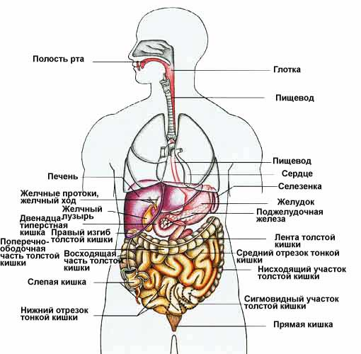 Анатомия органы схема